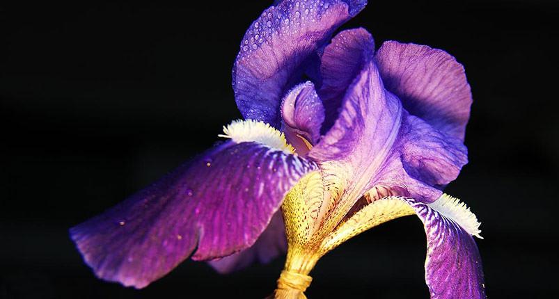 iris-foto-55