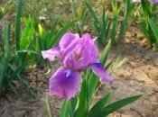 iris-foto-73