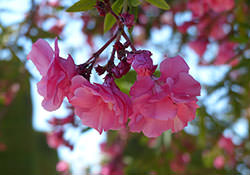 Кустовые розы фото