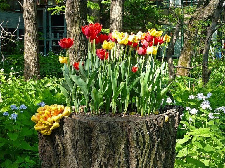 Тюльпаны на пне