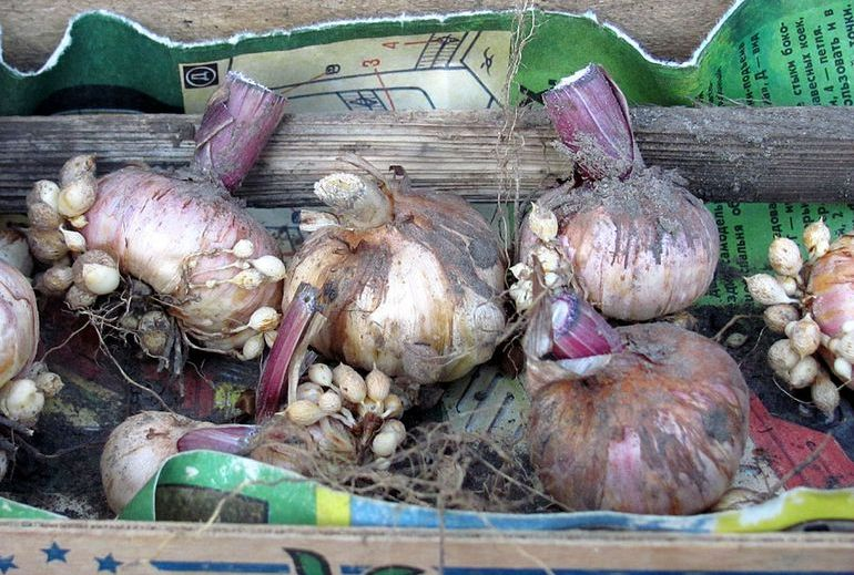 Выкопка луковиц гладиолуса