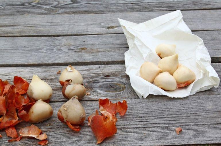 Хранение луковиц ирисов