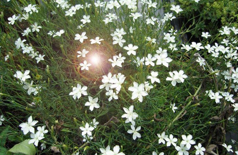 Гвоздика травянка Альбус