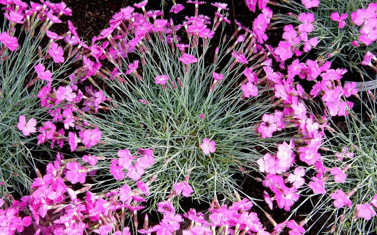 Цветение гвоздики травянки