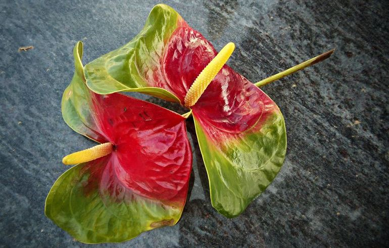 Ядовитый цветок антуриум