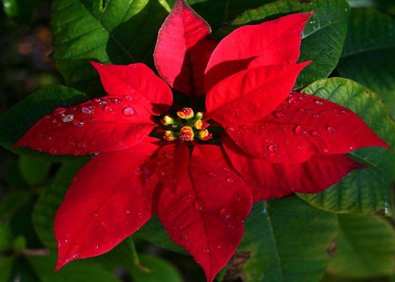 Пуансеттия или рождественская звезда
