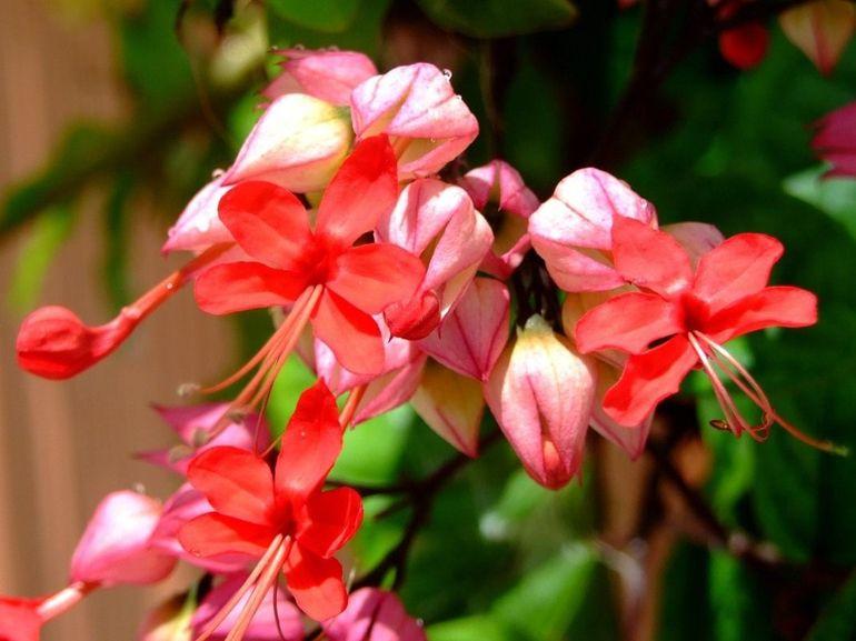 Цветение клеродендрума