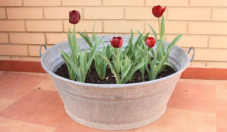 Тюльпаны в домашних условиях