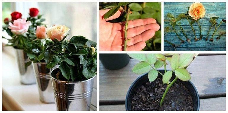Полезные советы по укоренению роз из букета