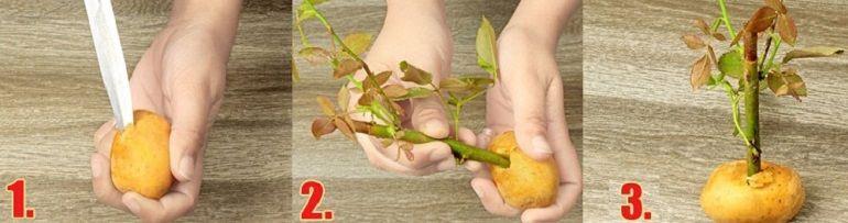 Посадка черенка розы в картофель