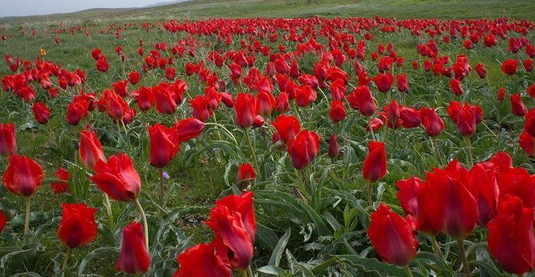 Тюльпан полевой