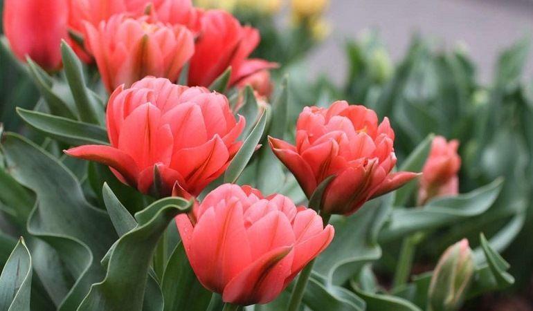 Тюльпаны «Дабл Торонто»