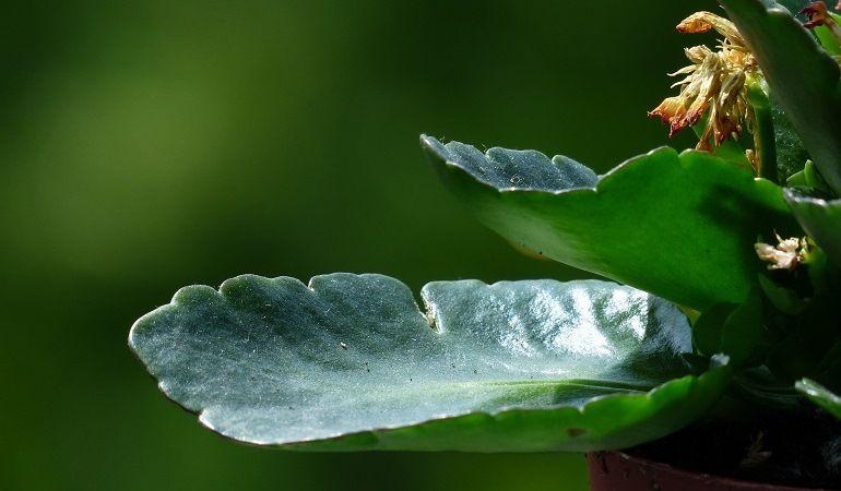 Листовой способ размножения каланхоэ
