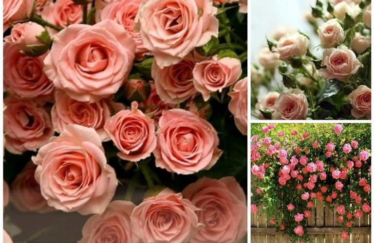Виды кустовых роз