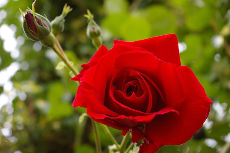 фото сорта розы Дам де Кер