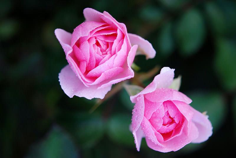 sorta-roz-s-foto-i-nazvaniyami-02