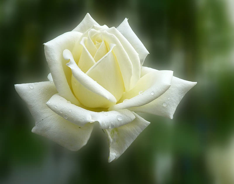 сорт розы с фото айсберг