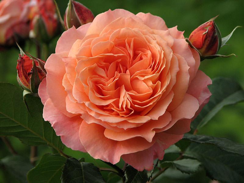 sorta-roz-s-foto-i-nazvaniyami-14