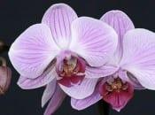 vidy-orhidej-08