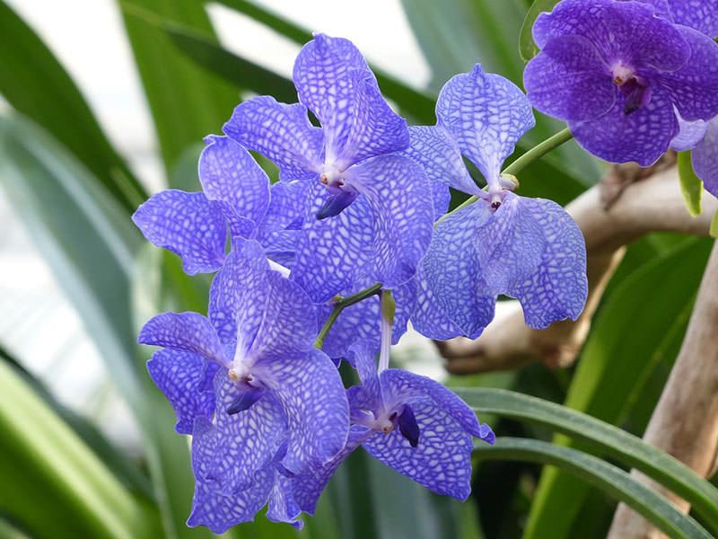 vidy-orhidej-15