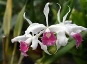 vidy-orhidej-24