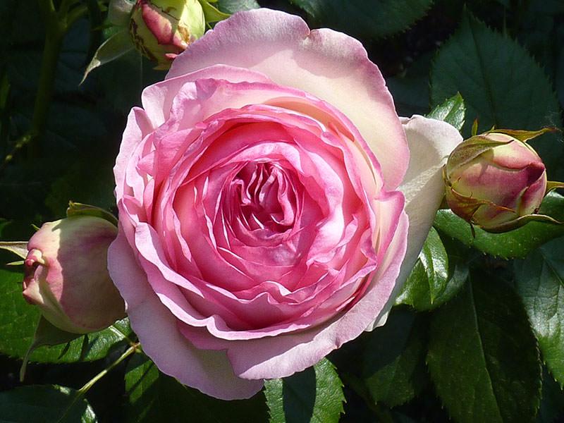 роза Пьер де Ронсар 5 место