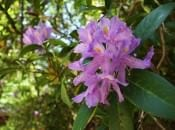 rododendron-04