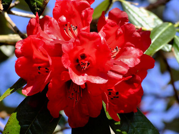rododendron-15
