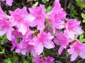 rododendron-44