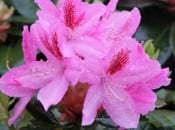 rododendron-48