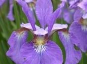 iris-44