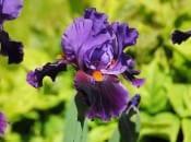 iris-foto-66