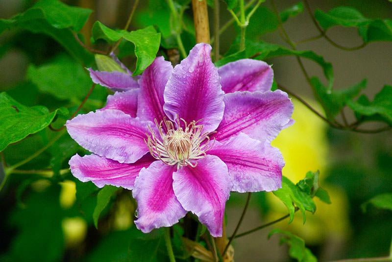 Цветы клематисы посадка и уход фото