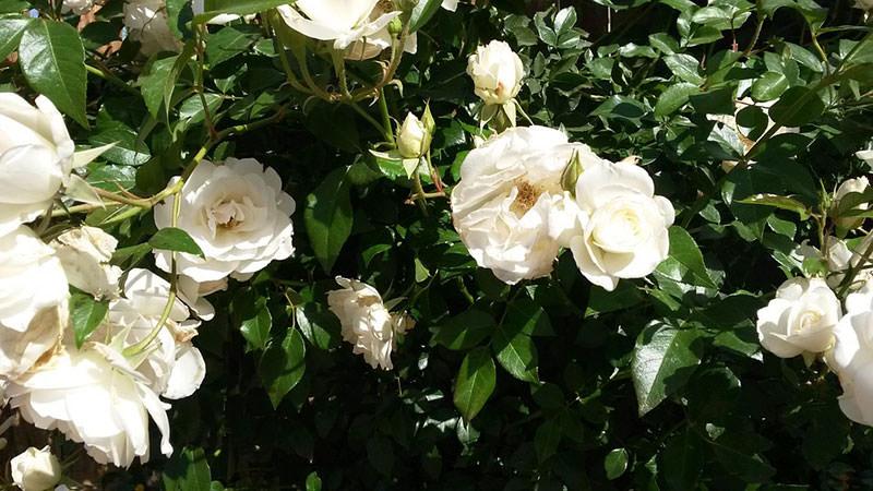 белые розы фото