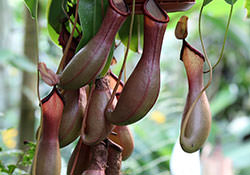 Удивительные растения — хищники
