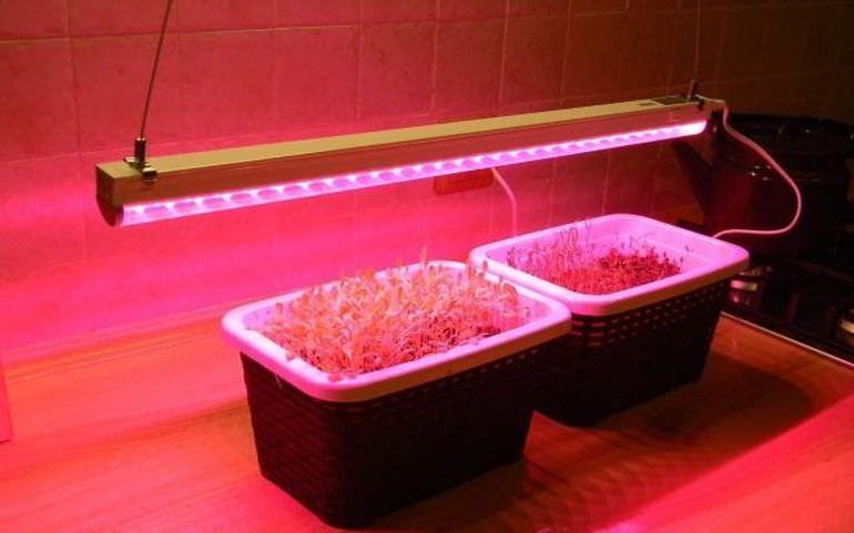 Сеянцы лилий садовых под фитолампой