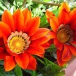 Как посадить гацанию на рассаду семенами