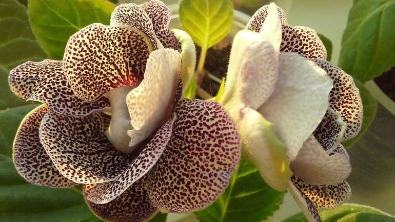 Глоксиния цветет