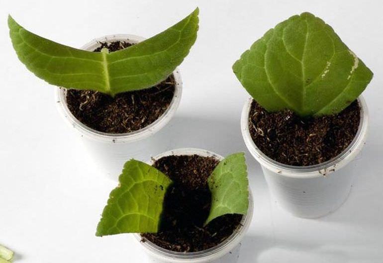 Размножение глоксинии частями листа