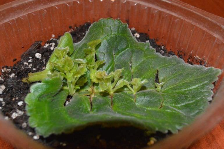 Посадка глоксинии листовой пластиной