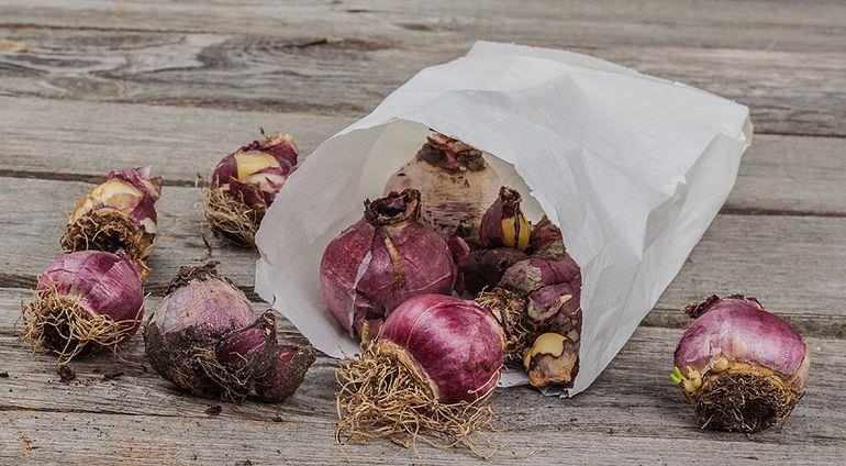 Хранение луковиц лилии