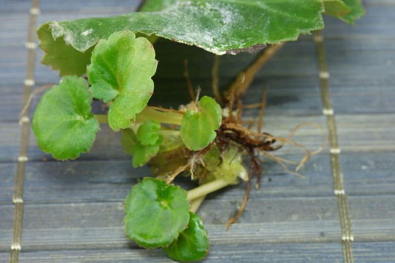 Бегония ампельная- уход в домашних условиях, выращивание из семян, фото