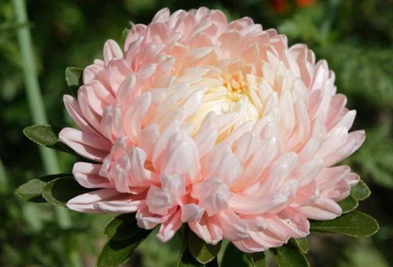Нежно-розовая астра
