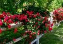 Лианы многолетние для сада
