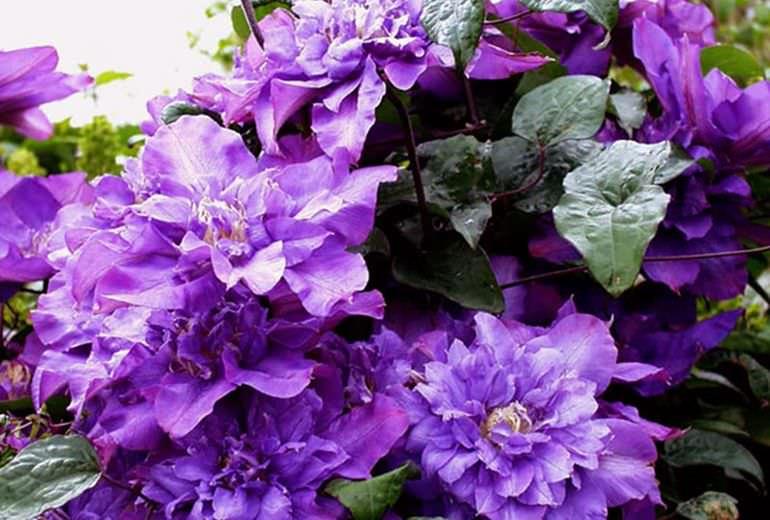 Клематис цветистый (Флорида) Vyvyan Pennell
