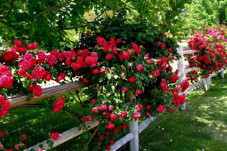 Плетистая роза на заборе