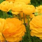 Лютики садовые: правила посадки и ухода