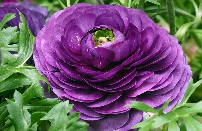 Фиолетовый садовый лютик