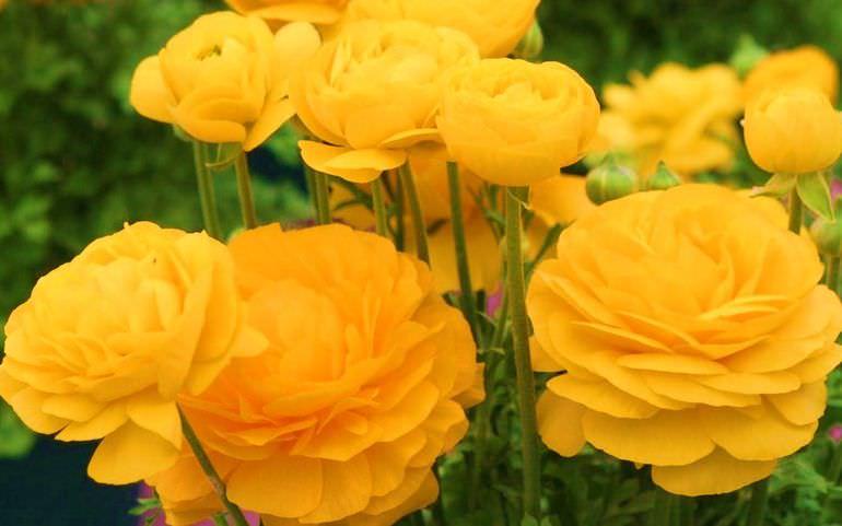Желтый садовый лютик (ранункулюс)