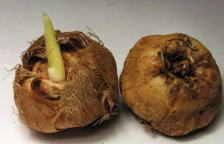 Луковицы бродиэи кон фабиолы